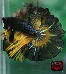 A dazzling black butterfly betta with gold markings - highly unsual