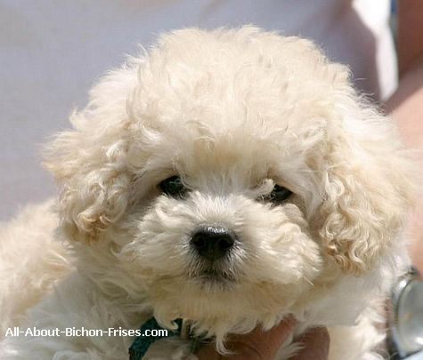 Bichon Frise Puppies -- adorable THIS IS EXACTLY WHAT ...