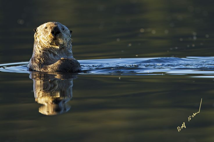 Sea otter off Vancouver Island, BC © Rolf Hicker Photography https://www.facebook.com/RolfHickerPhotography/
