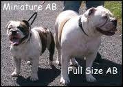 australian bulldogs - Google Search