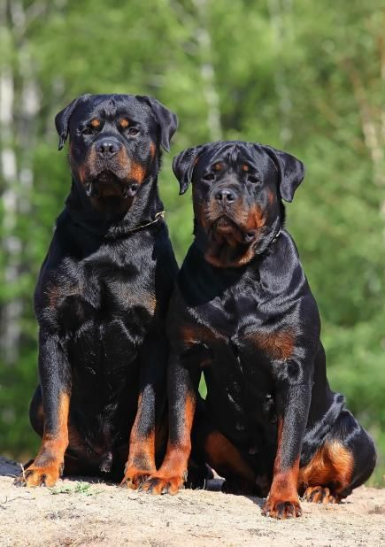 What's better than one Rottie?  Two!  One   for the front door and the other for the back.... lol
