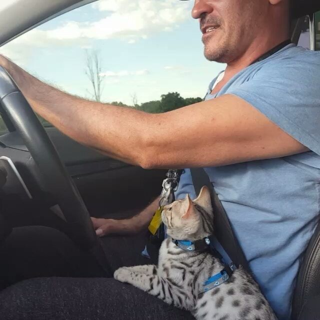 "A little bit of Fleetwood Mac "" Just tell me that you love me ""    lol #cats #catwalk #caturday #catsrule #bengals #cat #catsagram #catsofig #fleetwoodmac  #catstagram #catslover  #catslovers #catlover #catlady #catsinstagram #bengal #bengalkitten #bengalsofinstagram #catsdaily  #catoftheday #cats_on_instagram #cat_features #кот #котэ #whiskas #royalcanin #friskies #iams #meow #feline"