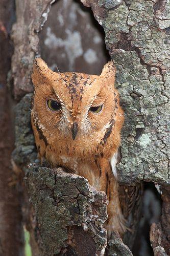 Rainforest Scops Owl The Rainforest Scops Owl Also