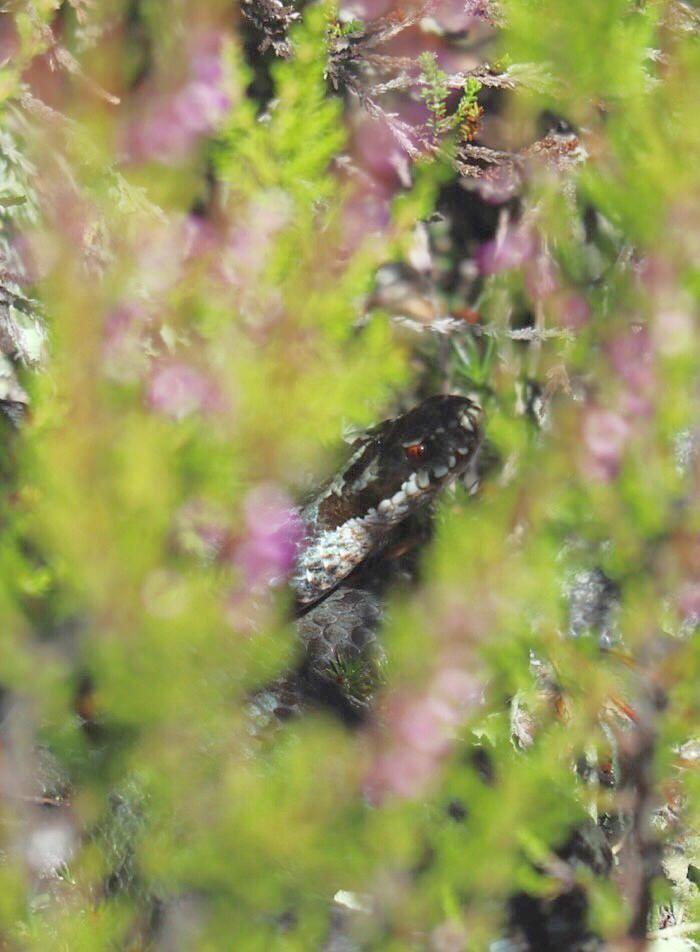 Kyykäärme kanervikon kätköissä / Adder surrounded by heathers