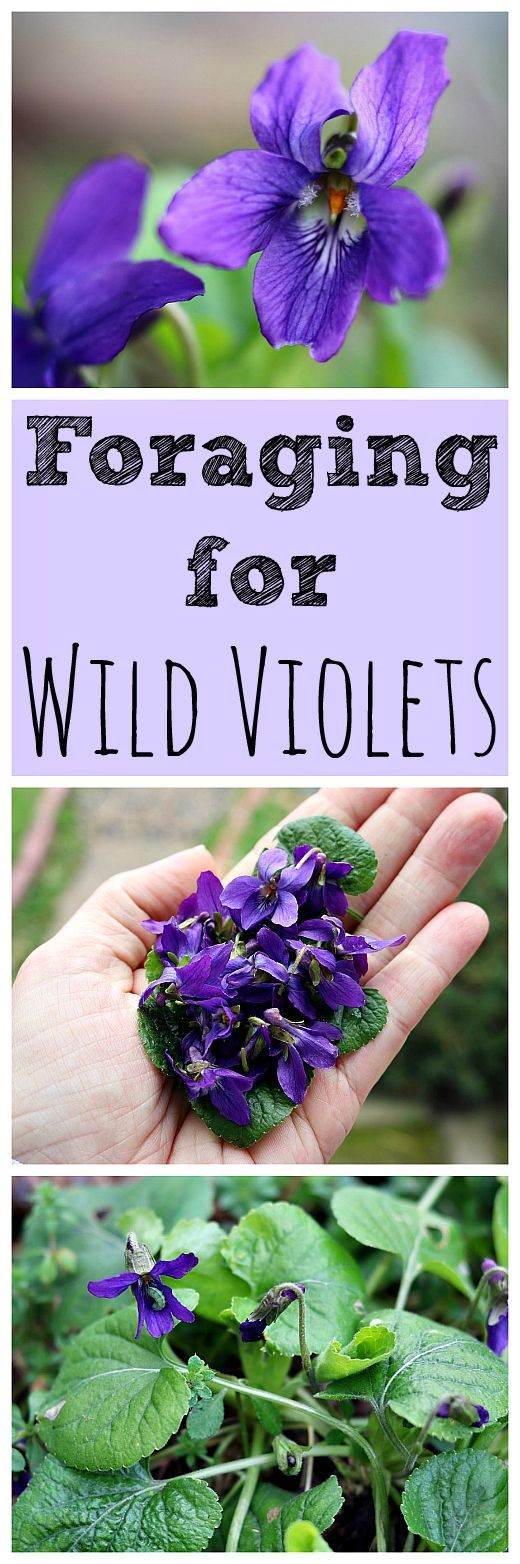 Wild violets are the first sign of spring and are always a welcome sight. They are both edible and medicinal, and easy to forage for!