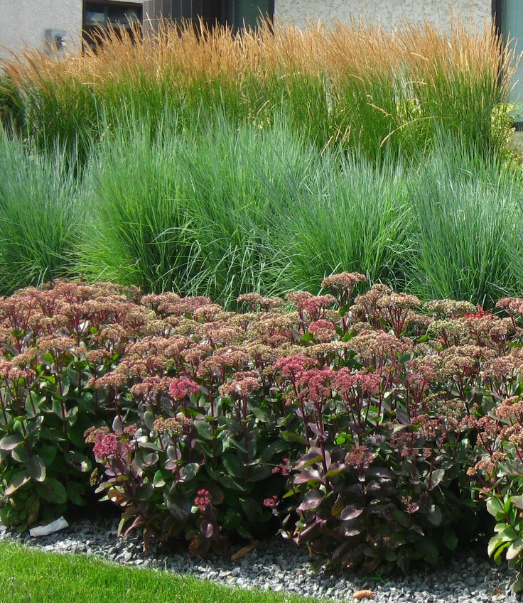 238 best images about landscape plants on pinterest - Drought tolerant grass varieties ...