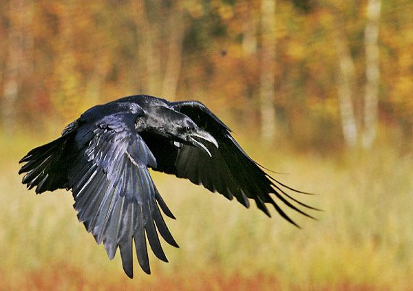 flying Raven Birds of prey Flowers Pictures | Wildflowers Pictures ...