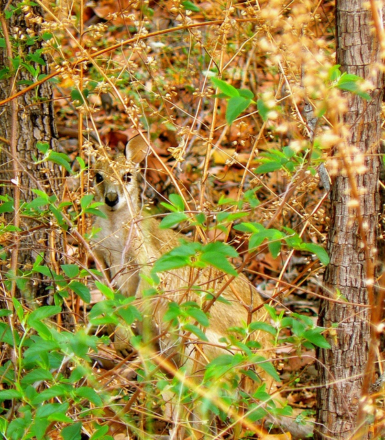 LocumLENS Finalist #4 Where's wallaby? A wallaby hiding in the brush in Australia. Photo courtesy of Dr. Kathryn Starkey.
