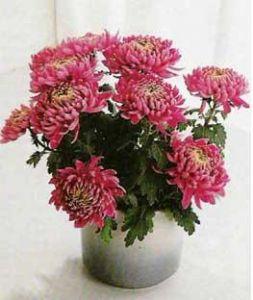 Хризантема индийская Chrysanthemum indicum