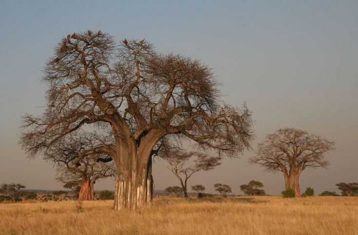 Adansonia_digitata_Baobab.JPG (JPEG-Grafik, 3783×2482 Pixel) - Skaliert (30%)