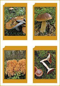 Haltia | Sienet | Tulostettavat sienikortit | Korttisarja esittelee 17 tyypillistä sienilajia valokuvin ja tekstein. Tekstit ovat sekä suomeksi että ruotsiksi. Materiaalin on tuottanut Suomen luontokeskus Haltia. Voi käyttää yhdistelupelinä -> Yhdistä kuvakortti ja tietokortti | Fungi Picture Card | Free printable PDF