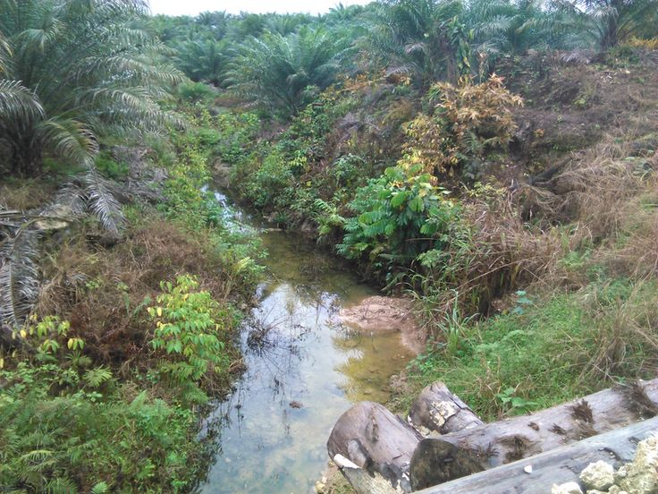 Oil palm is planted right up to the edge of streams with no buffer zones