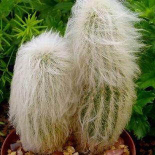 Pianta succulenta denominata Cephalocereus Senilis