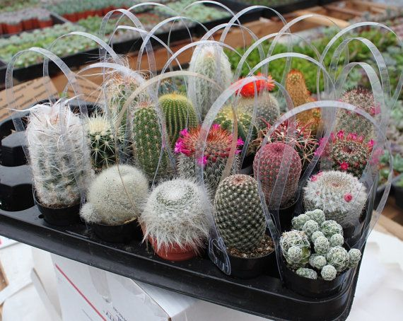 "24 Awesome Cactus in their 2.5"" round  containers All are labled with names succulents succulent-"