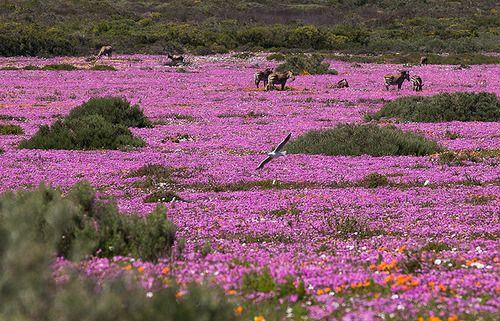 Funny Wildlife, Zebra walk in a field of assorted wild daisies in...
