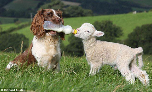 www.facebook.com/cmlhome: Sheep Dogs, Animals, Babylamb, Friends, Baby Lamb, English Springer Spaniels, Pet, The Farms, Photo