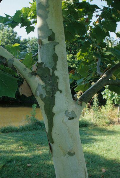 Platanus x acerifolia 'Yarwood' (Yarwood Planetree). Height: 60 feet. Notes: tolerant of wide range of soils; fast grower; disease free