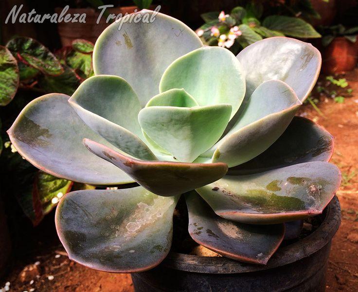 Vista lateral de la roseta de la planta suculenta Rosa de Bronce o Rosa de Plata, Echeveria gibbiflora var. metallica