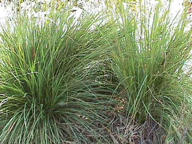 dwarf fakahatchee grass