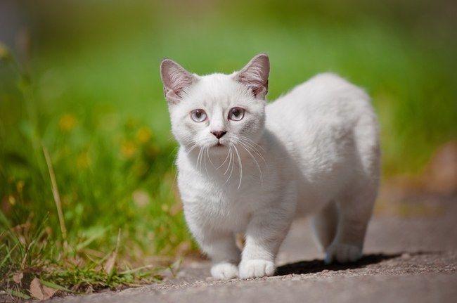 Comment ne pas craquer devant cette race de chat ? Voici 14 photos qui vous feront fondre...