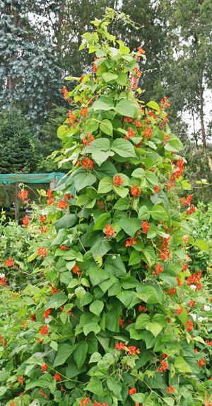 Scarlet runner bean growing on a tall teepee.  Got some seeds from friends who call them red runner beans
