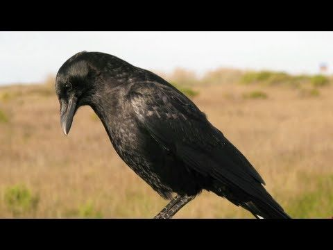 ▶Crow's Causal understanding of water displacement - YouTube  Unbelievable !!!!!!!!!!   kc  Smarter than most American 5th graders !!!!!!!!