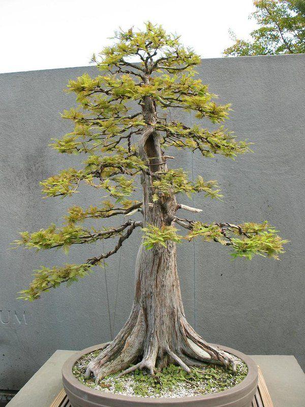 Pin By Elijah Pauls On Witch Swamp Pinterest Bonsai Prunus Mume