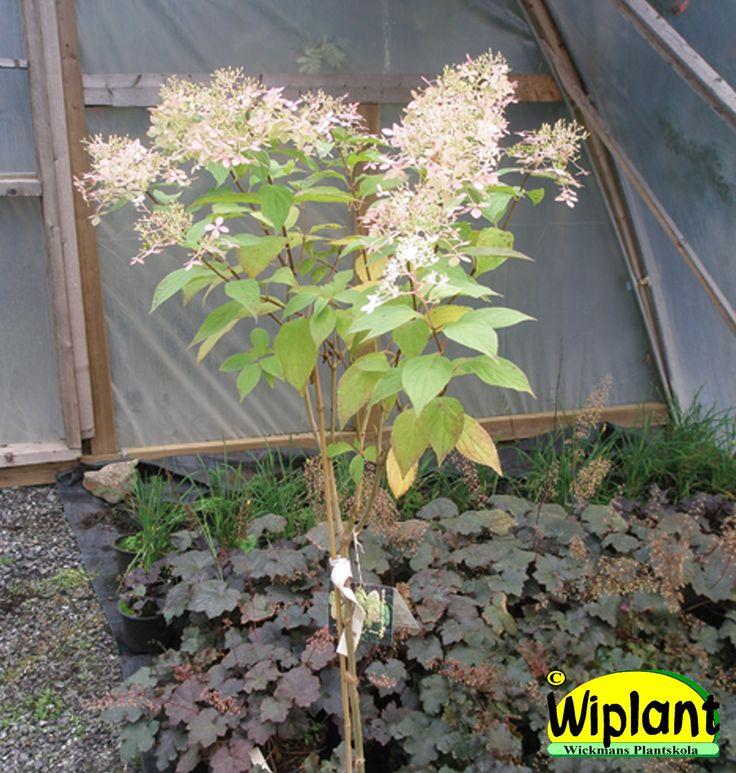 Hydrangea pan. 'Limelight' på stam. Får mycket stora, lätt limefärgade blomklasar på hösten.