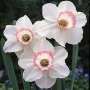 PINK CHARM DAFFODIL offers an interesting combination of color: ivory white petals and a crown with coral pink edge. These will add a very striking addition to your garden! Symbolizes new beginnings and ensures happiness. Used as March birth month flower and for 10yr wedding anniversaries.