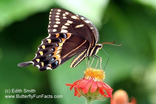 Palamedes Swallowtail Erfly