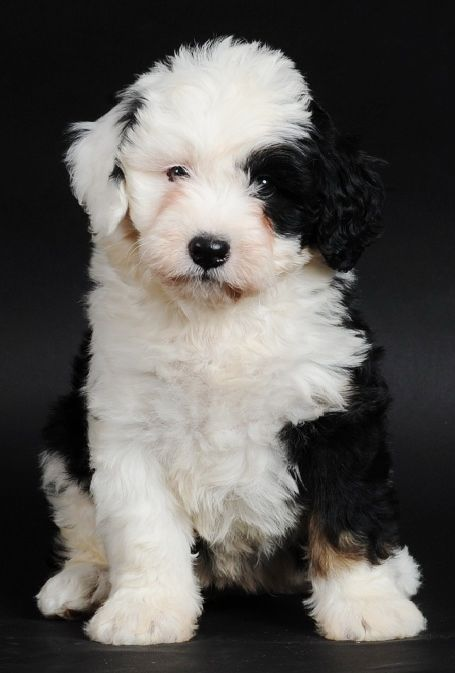 Bernedoodle puppy. omg i want