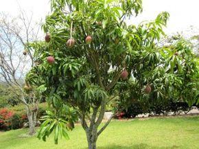Árbol de mango                                                                                                                                                                                 Más