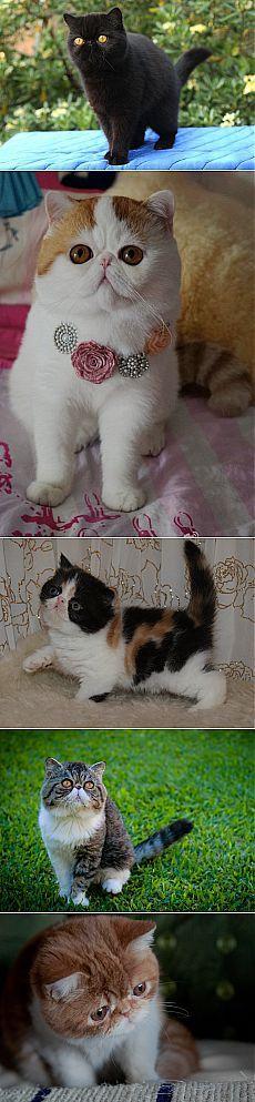 Экзотическая короткошерстная кошка (экзот). 26 фото