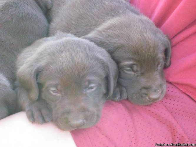 Dogs For Sale In Aberdeen Sd
