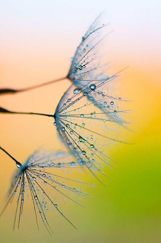 ✯ Dandelion seeds