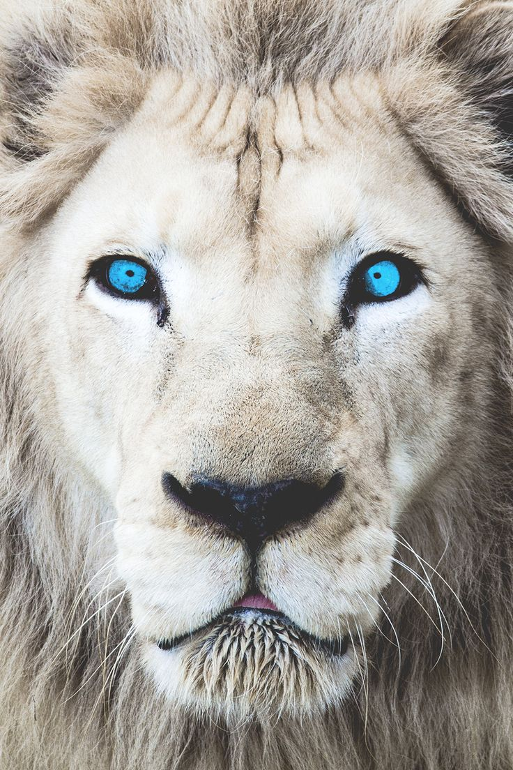 Superior Luxury — motivationsforlife:  Eyes Wide Open (White Lion)...