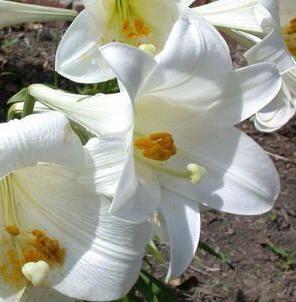 De verschillende soorten lelies die goed gedijen in de tuin. lelie lelies bloembollen planten soorten bollen bolgewas bolgewassen  bloemen