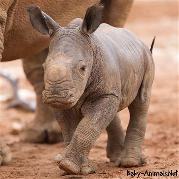Cute rhino pictures    #rhino  #babyrhino  #cuterhino  #littlerhino  #sweetrhino  #funnyrhino  #cutebabyrhino  #sweetbabyrhino  #babyanimals  #cuteanimals  #littleanimals  #sweetanimals #yavruhayvanlar  #bebekhayvanlar