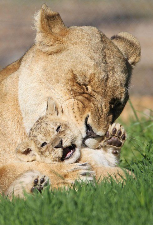 """""""That tickles mama!"""" African Lioness 'Tiombe' plays with her six-week old cub at Monarto Zoo, Adelaide, Australia (Dylan Coker/Newspix / Rex Features)"""
