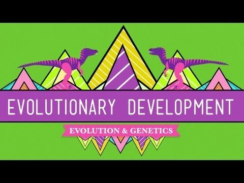 ▶ Evolutionary Development: Chicken Teeth - Crash Course Biology #17 - YouTube   Hox genes explained
