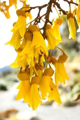 Kowhai flower of NZ, is a sure sign of Spring. It attracts the Tui bird.