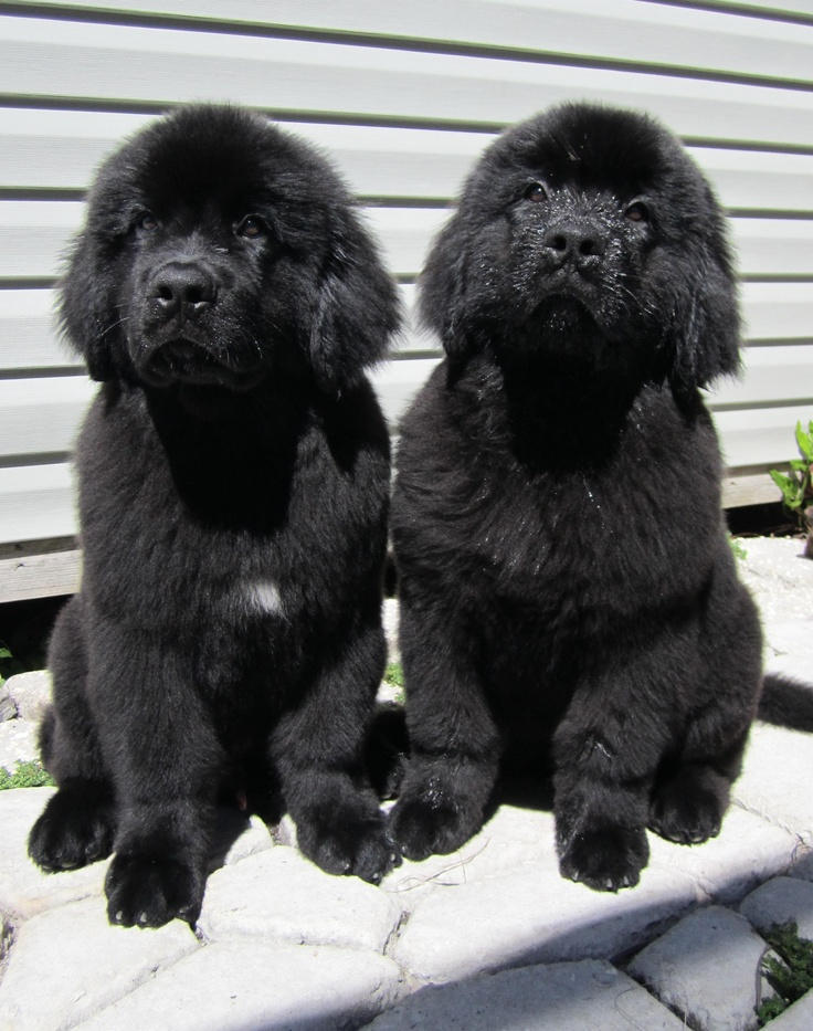 Most Inspiring Newfoundland Chubby Adorable Dog - bffcfdb989e56e8ece536579185945e8--my-goals-sugar-baby  Pic_706618  .jpg