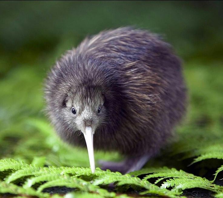 kiwi bird <3