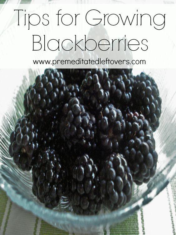 Growing Blackberry Plants: How To Grow Blackberries