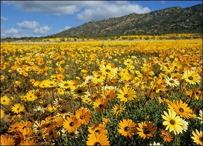 Namaqualand in South Africa is known as the world's most beautiful wildflower spectacle