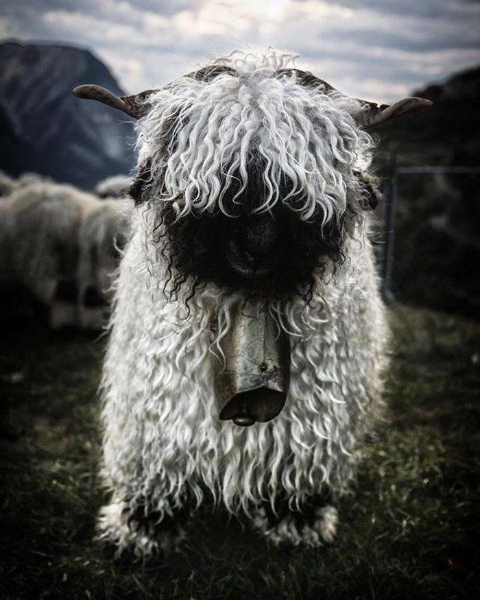Les moutons à nez noir du Valais... magnifiques ou effrayants? - https://www.2tout2rien.fr/les-moutons-a-nez-noir-du-valais-magnifiques-ou-effrayants/