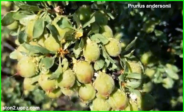 خوخ اندرسوني او برقوق اندرسوني Prunus Andersonii قسم الفواكه النبات معلومات نباتية وسمكية معلوماتية Grapes Prunus Fruit