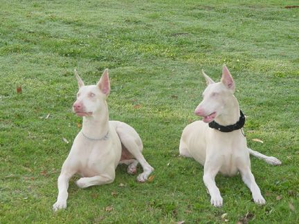 akc white doberman pinscher