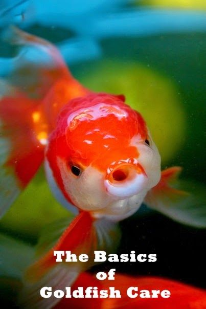 The Basics of Goldfish Care. Read more: http://whatwomenloves.blogspot.com/2014/06/the-basics-of-goldfish-care.html