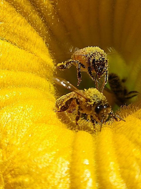 incredible close-up of Bumble bees full of pollen ; )  (via flickr 73681361@N02/6712454857)